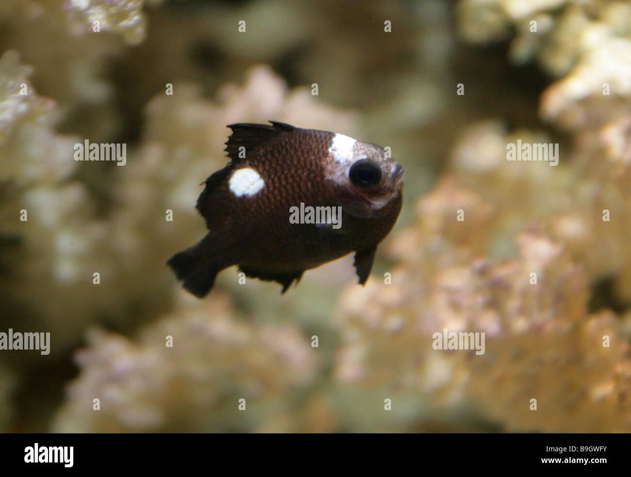 Threespot Dascyllus aka the Domino Damsel or Simply Domino, Dascyllus trimaculatus, Pomacentridae. An Indo Pacific - Stock Image