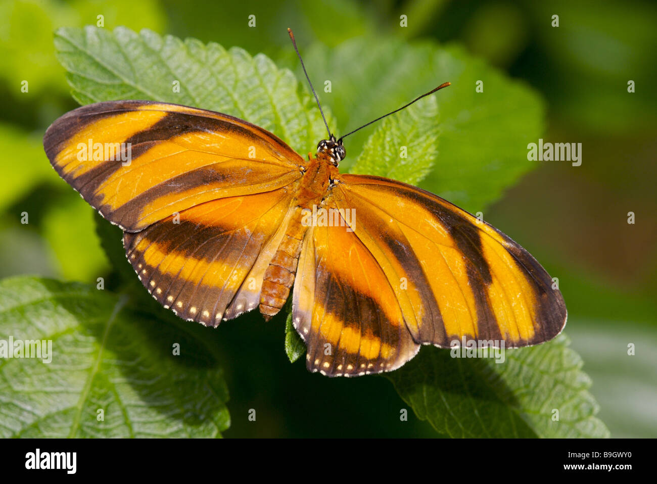 butterfly Dryadula phaetusa yellow roved animal insect concept delicately fine brown filigree Canada British Columbia - Stock Image