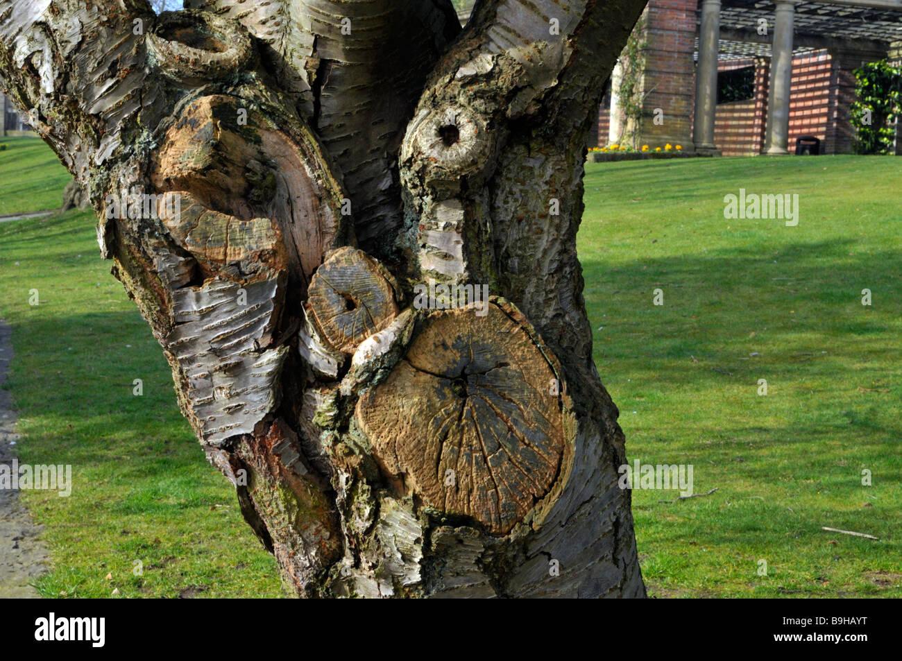 gnarled tree in valley gardens, harrogate - Stock Image