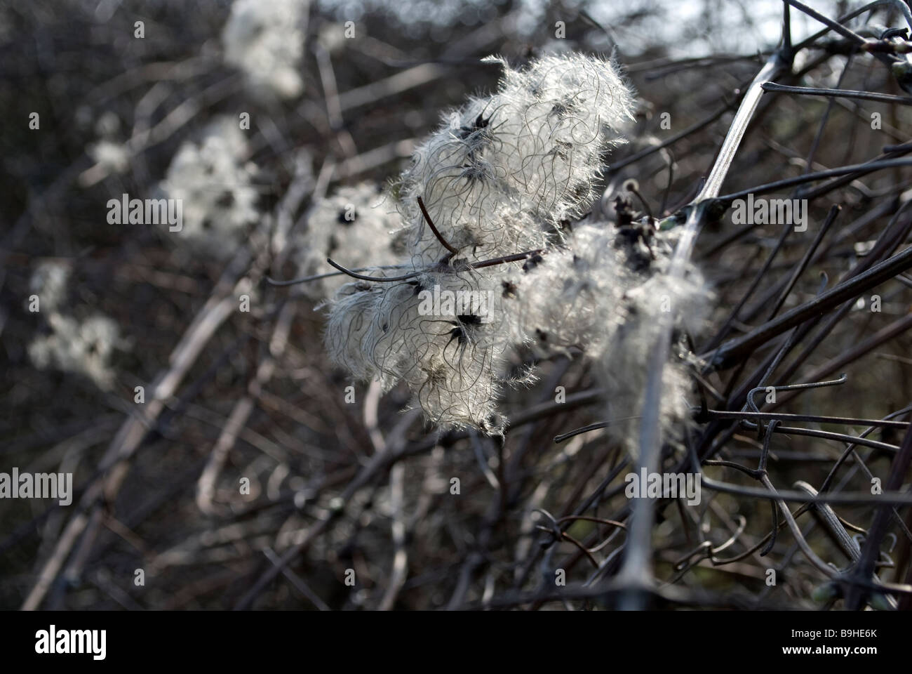 Old man's beard - Stock Image