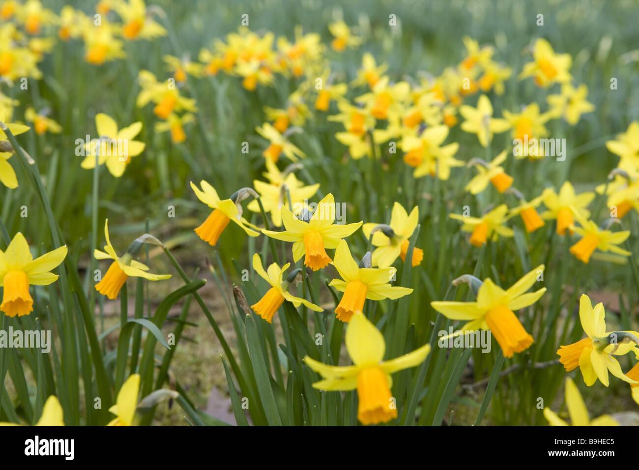 Meadow  jonquils Stock Photo