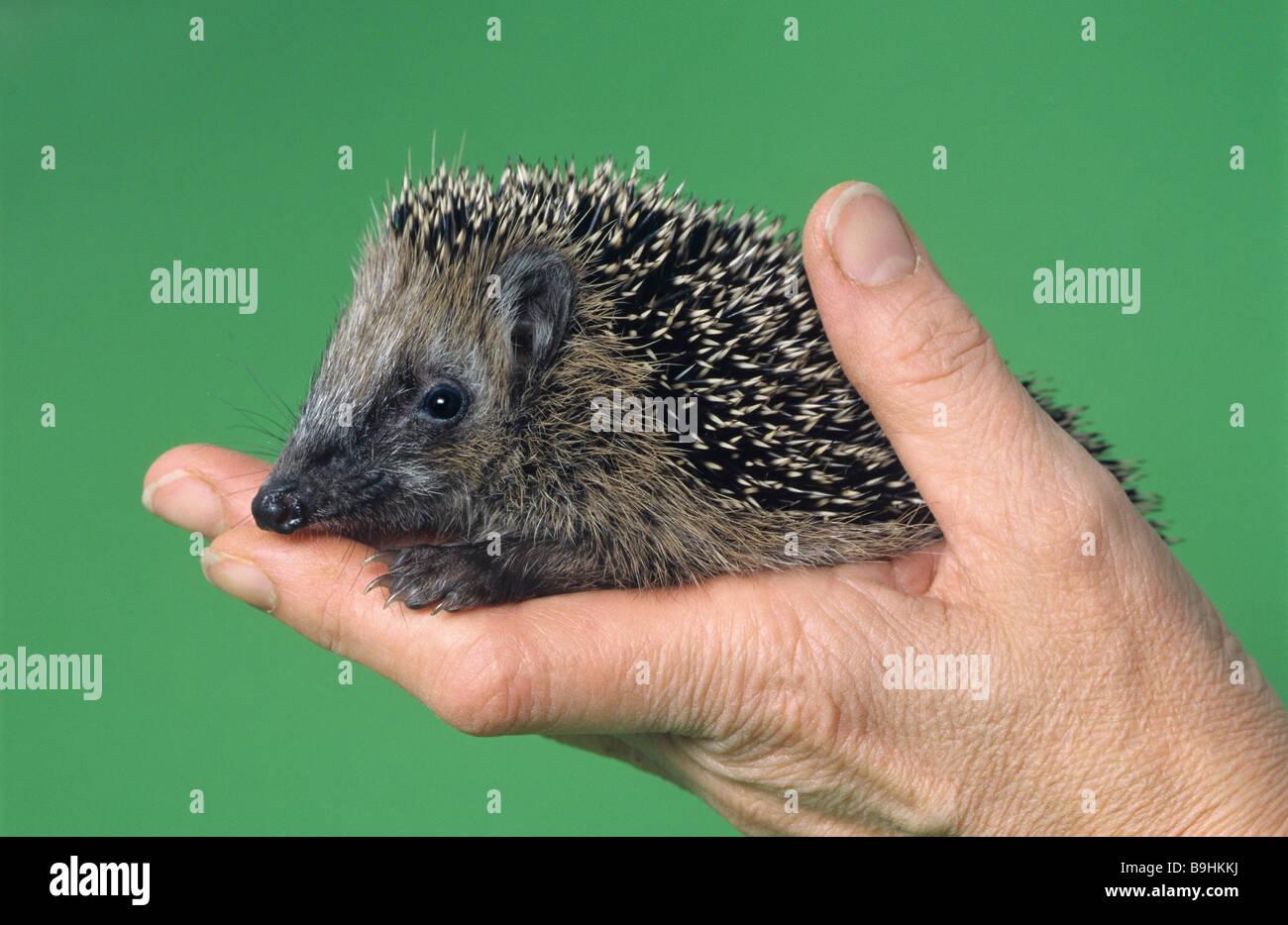 West European Hedgehog (Erinaceus europaeus) on a hand - Stock Image