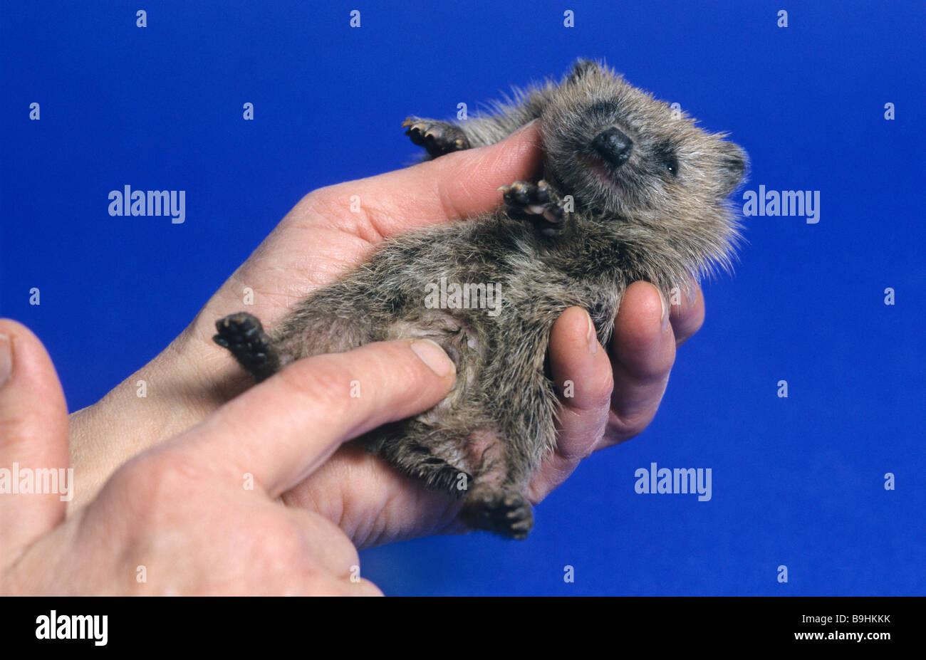 Hands examining a young West European Hedgehog (Erinaceus europaeus) - Stock Image