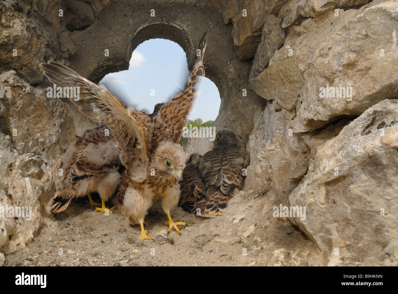 Fledgeing Common Kestrels (Falco tinnunculus) in the nest, stroking of wings is being practiced, muscular training - Stock Image