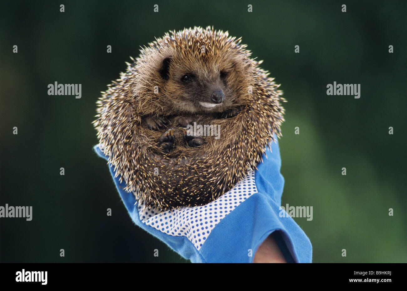 West European Hedgehog (Erinaceus europaeus), foam on its snout, held by a gloved hand - Stock Image