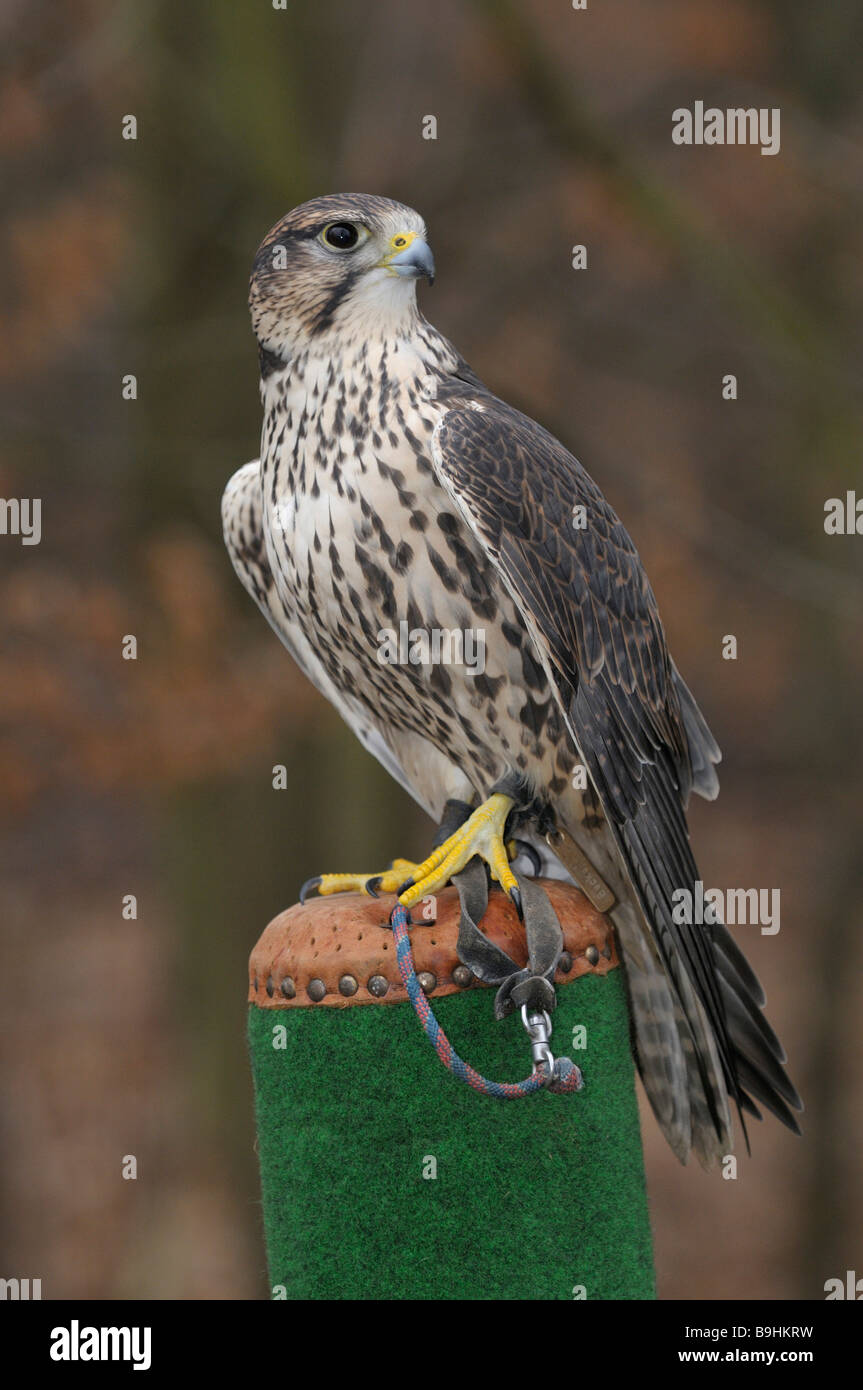 Saker Falcon (Falco cherrug) on a post - Stock Image