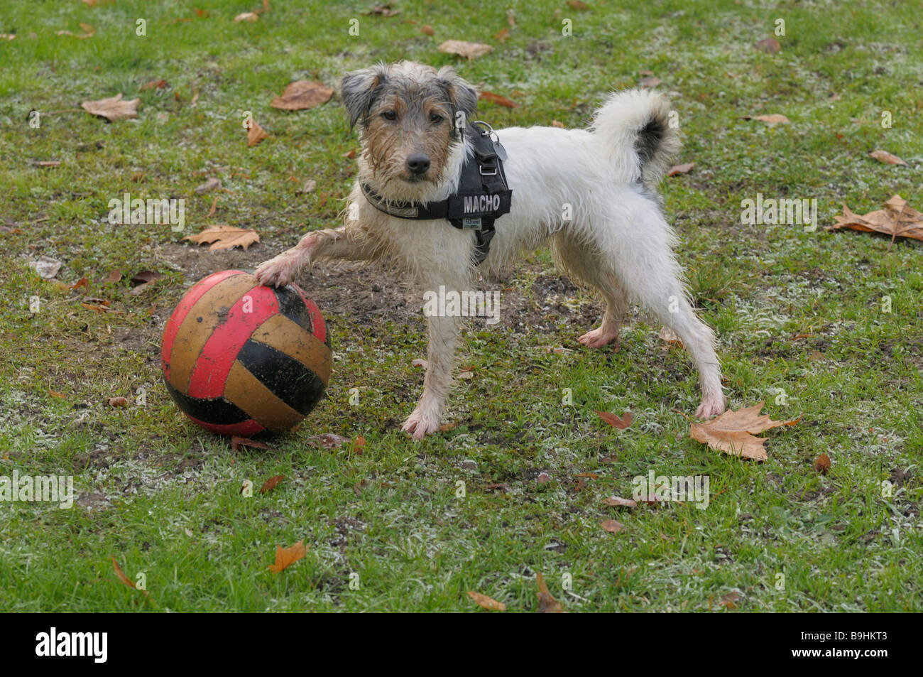 Terrier with one paw on a colourful ball - Stock Image