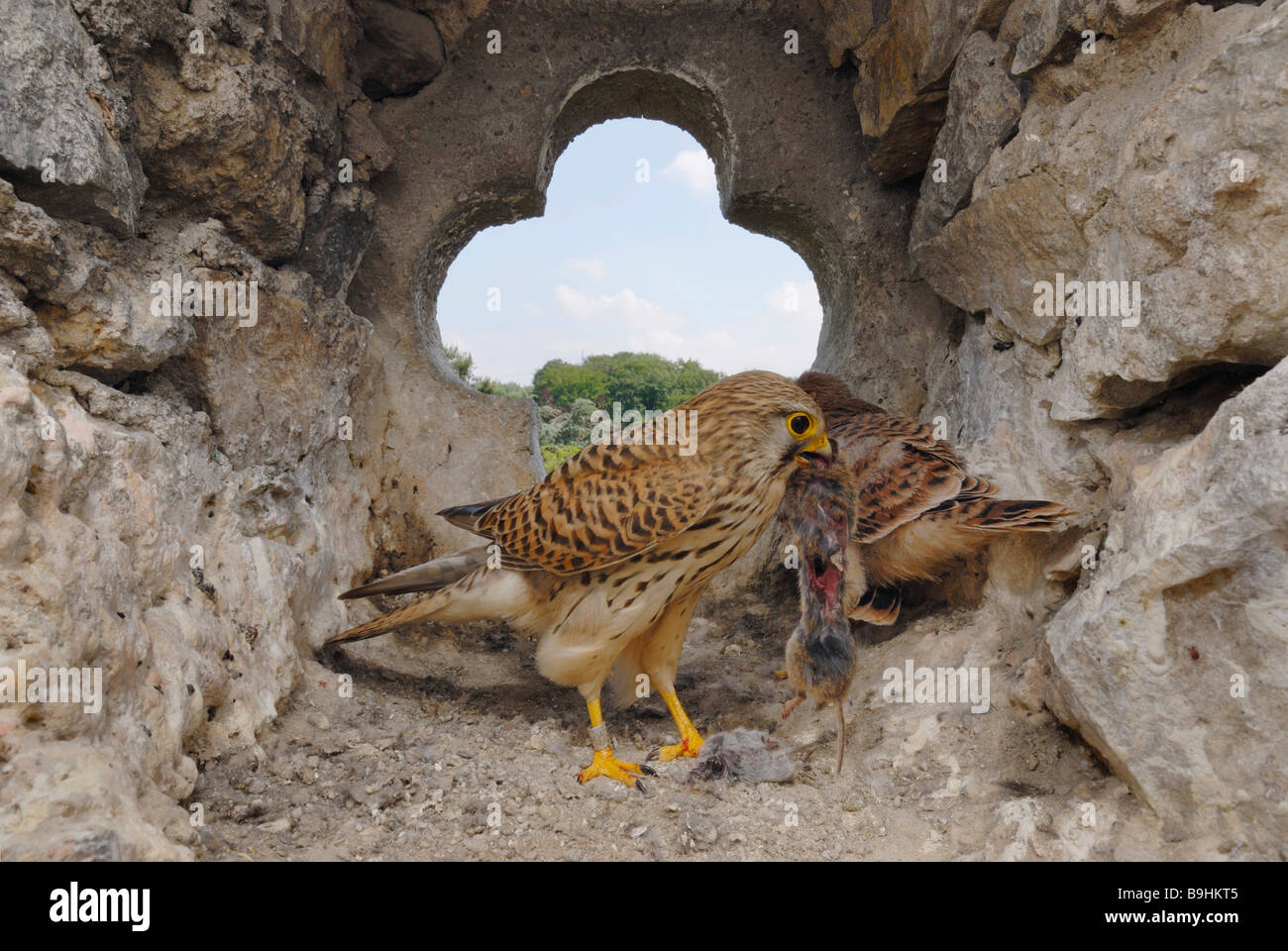 Common Kestrels (Falco tinnunculus), female with mouse in nesting cavity - Stock Image