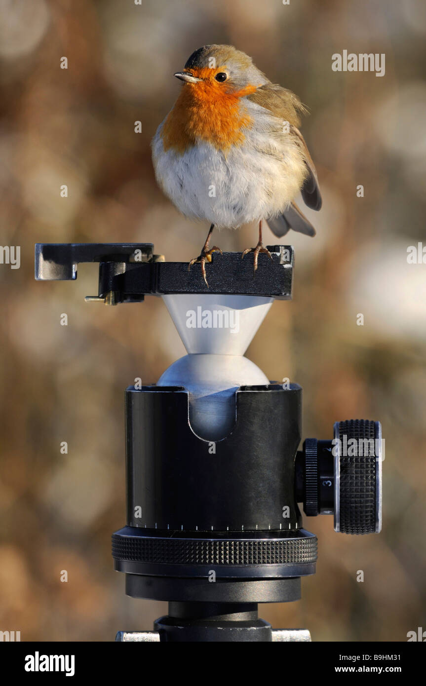 European Robin (Erithacus rubecula) with puffed-up feathers on the head of a tripod - Stock Image
