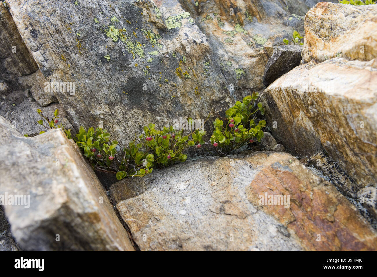 Rocks berry-bushes blueberry-bloom Vaccinium myrtillus berry bushs mountain-flowers mountain-spring mountain-region - Stock Image
