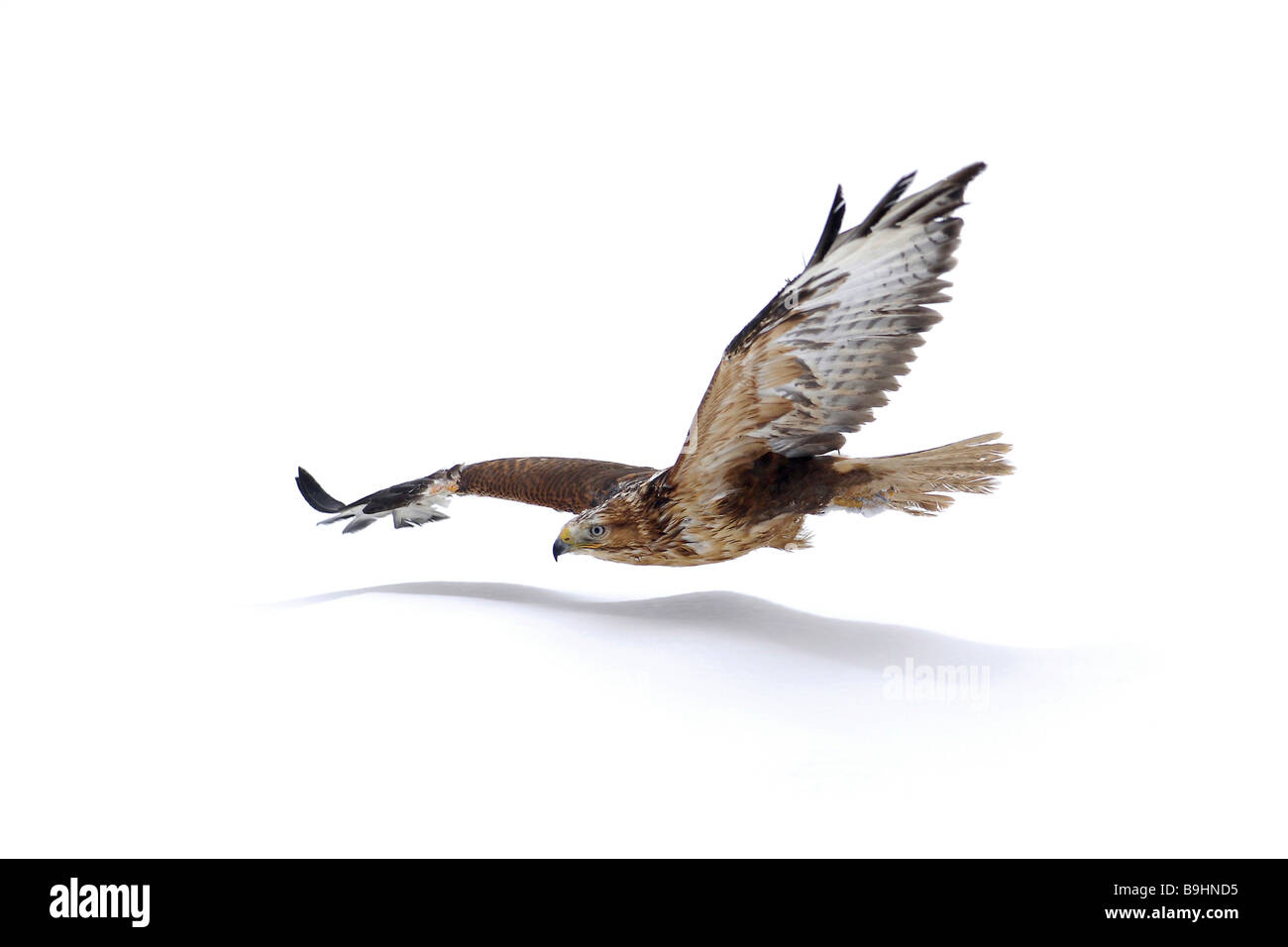Long-legged Buzzard (Buteo rufinus), with reddish tint, in flight - Stock Image