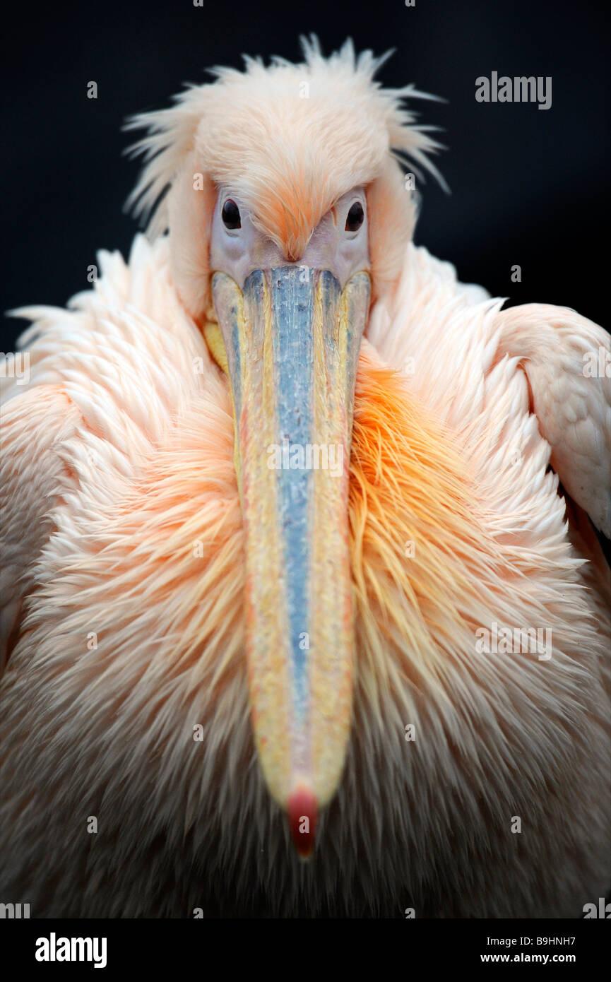White Pelican (Pelecanus onocrotalus), portrait Stock Photo