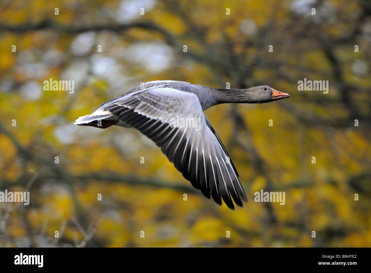 Greylag Goose (Anser anser), flying Stock Photo