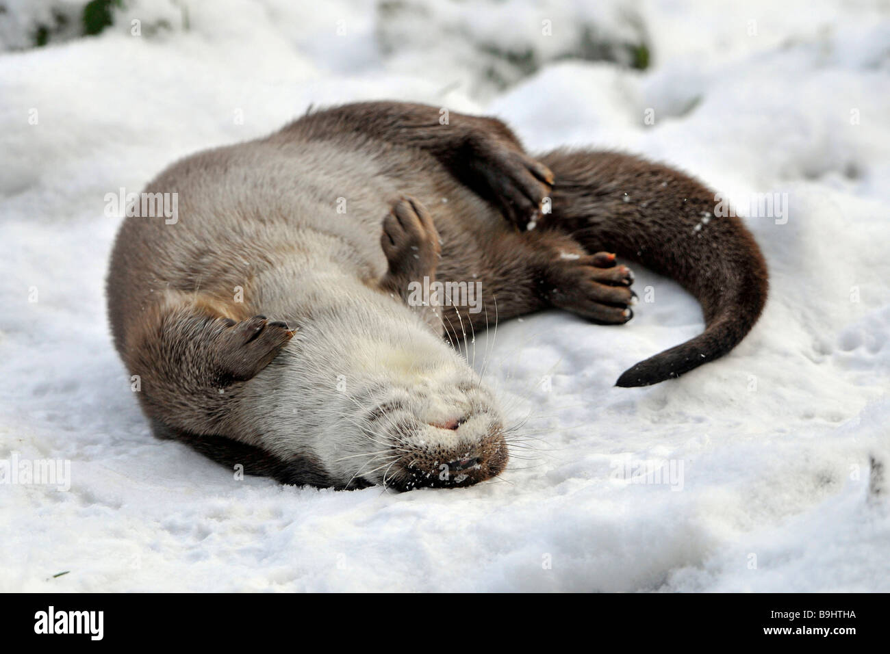European Otter (Lutra lutra), playing in the snow - Stock Image