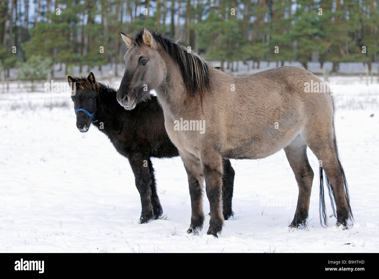 Konik, Polish primitive horse, on wintery meadow, rare, on the protected species list for old, domestic animals - Stock Image