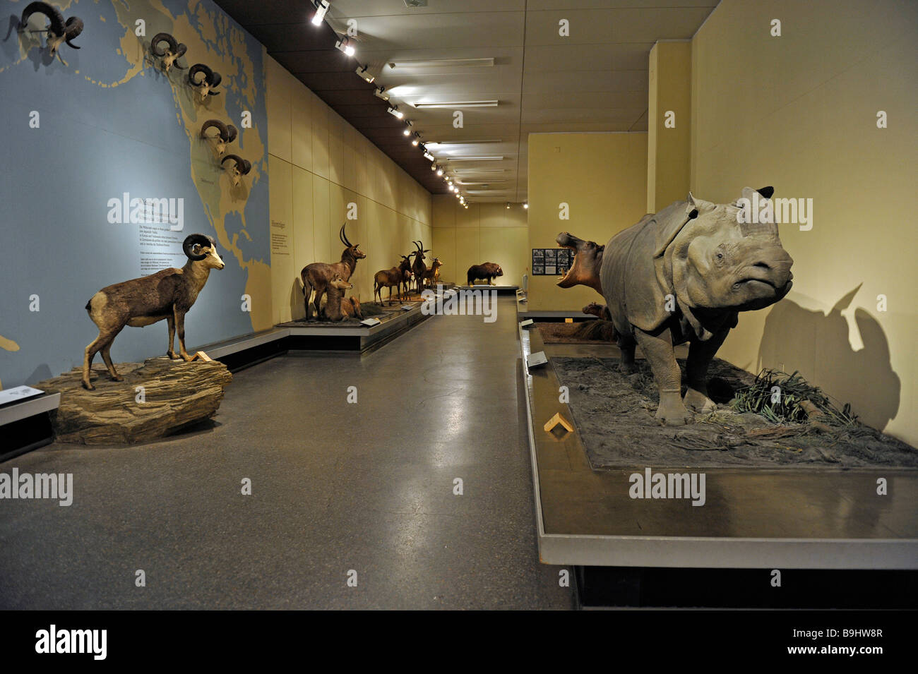 Show room, Museum fuer Naturkunde, Natural History Museum, Berlin, Germany, Europe - Stock Image