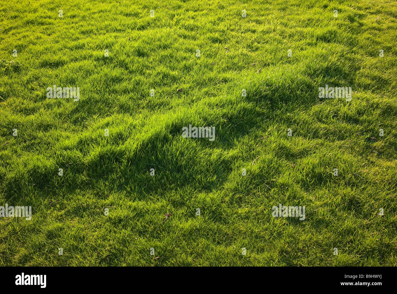 Lawn of grass showing evidence of mole burrowing just beneath the turf in March - Stock Image