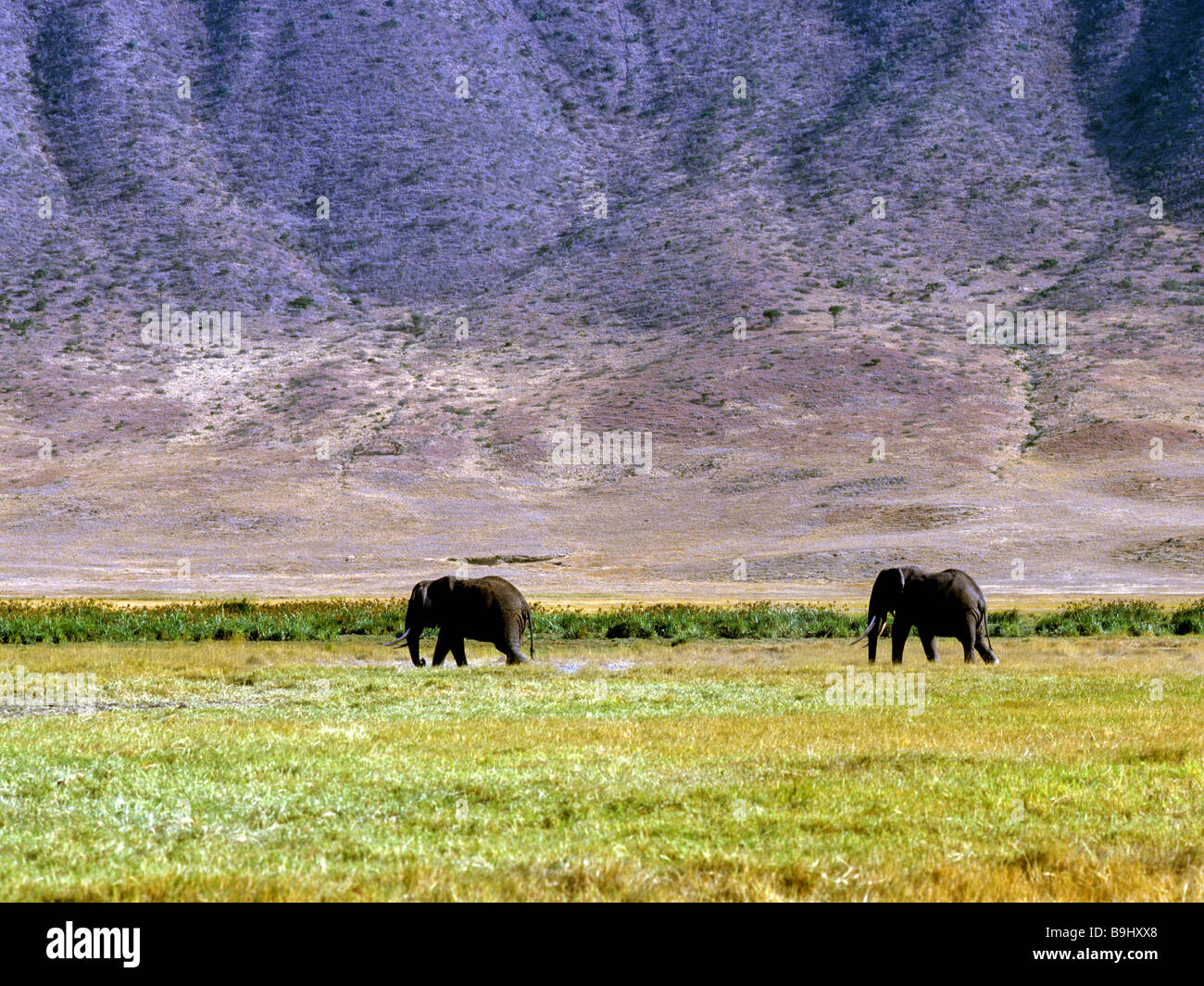 African Bush Elephants (Loxodonta africana), Ngorongoro Conservation Area, Tanzania, East Africa Stock Photo