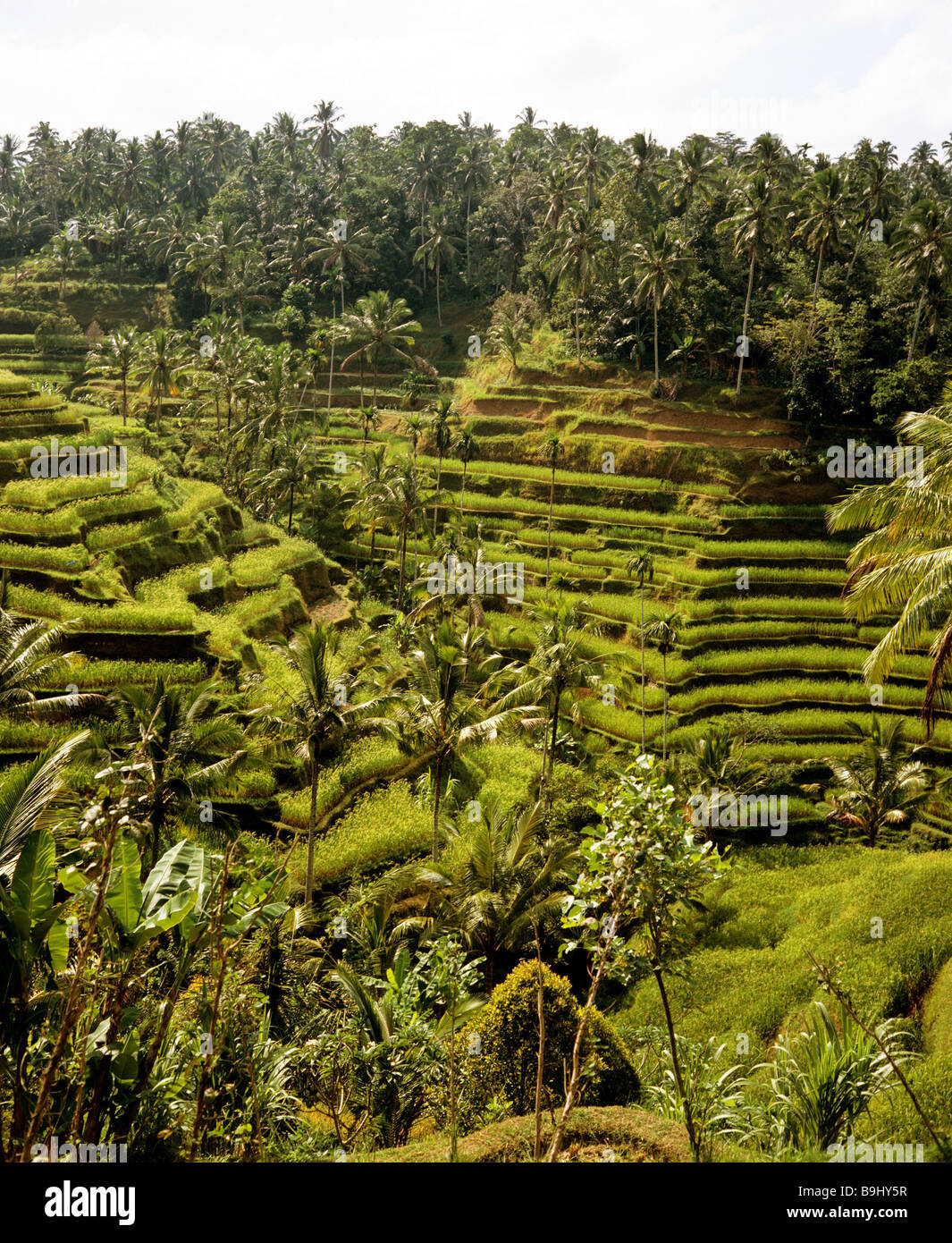 Rice paddies near Ubud, Bali, Indonesia, south-east Asia - Stock Image