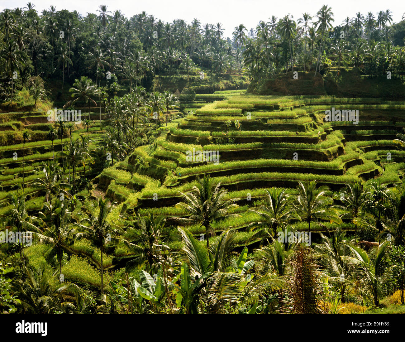 Rice paddies near Ubud, Bali, Indonesia, south-east Asia Stock Photo