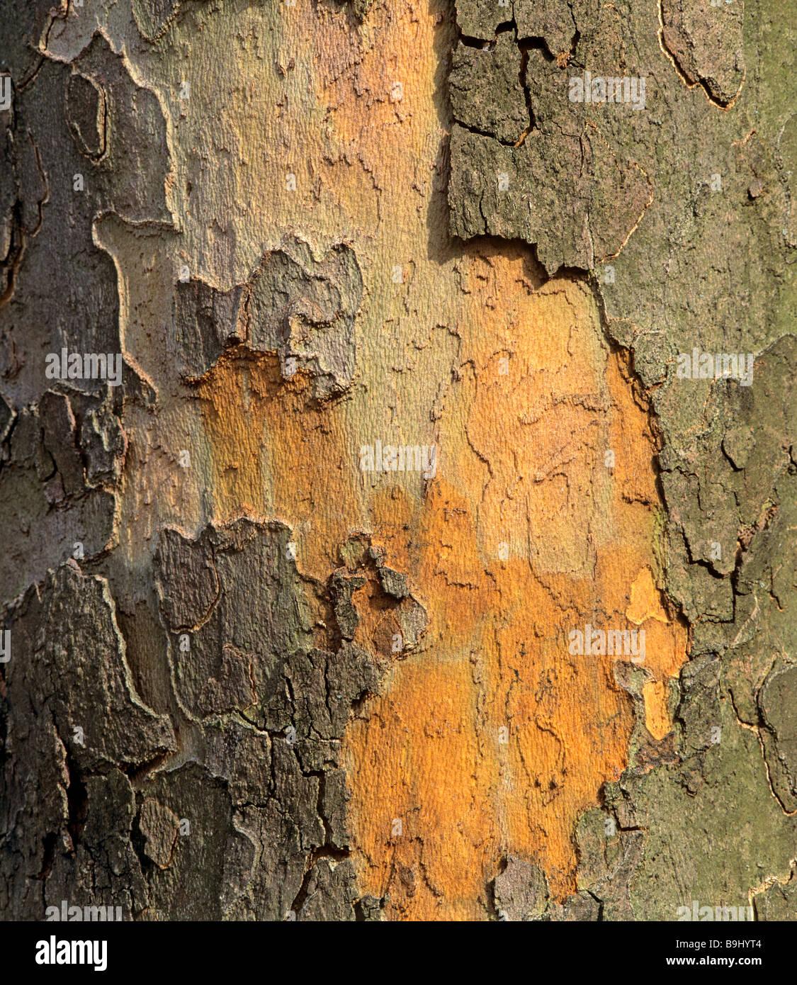 Bark of a Plane (Platanus) - Stock Image