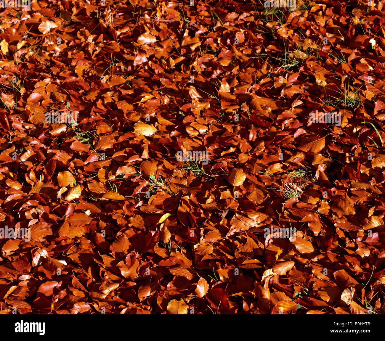 Autumnal foliage, forest, leef litter, beech tree - Stock Image