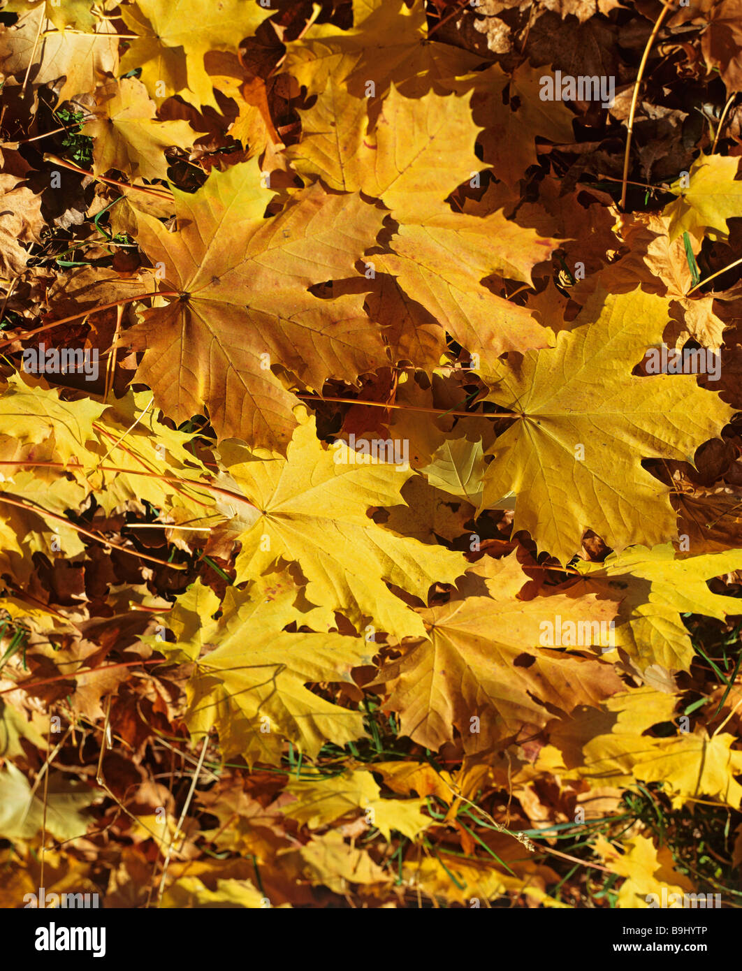 Maple tree (Acer), ahorn leaves in autumn Stock Photo