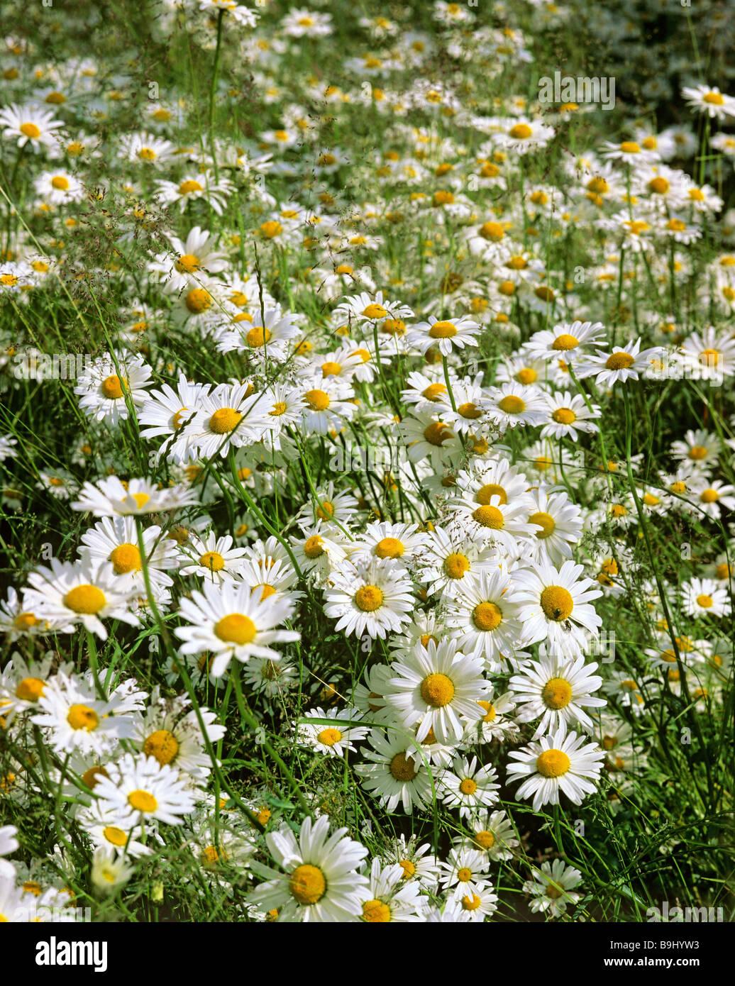 Marguerites (Leucanthemum), flower meadow in summer Stock Photo