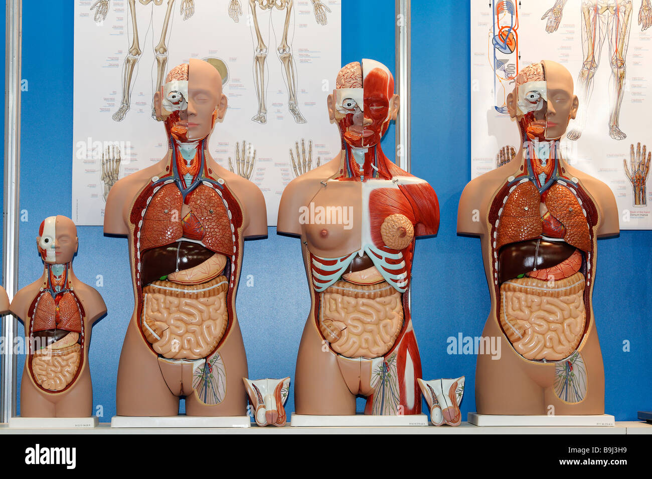 Torsos with open head and upper body, anatomical models of company Erler-Zimmer, Medica 2008, worldwide largest - Stock Image