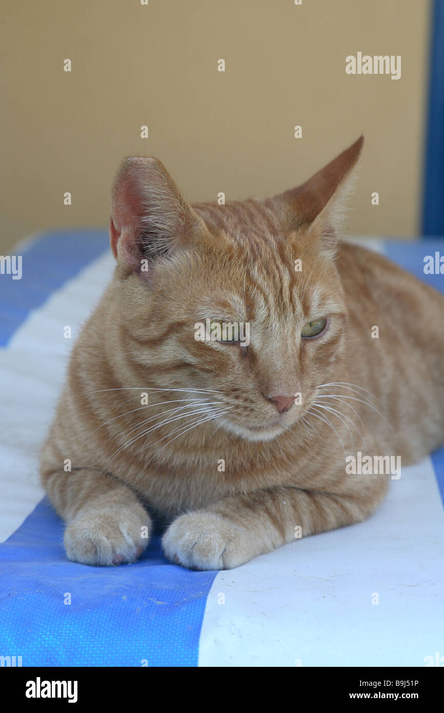 Cat red deck chair lie animal pet house-cat free-living mammal free-liver day bed roved know-blue resting lazes - Stock Image