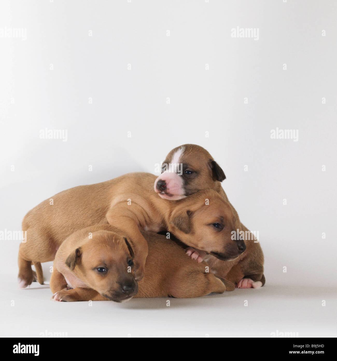 3 1-week-old puppies playing - Stock Image