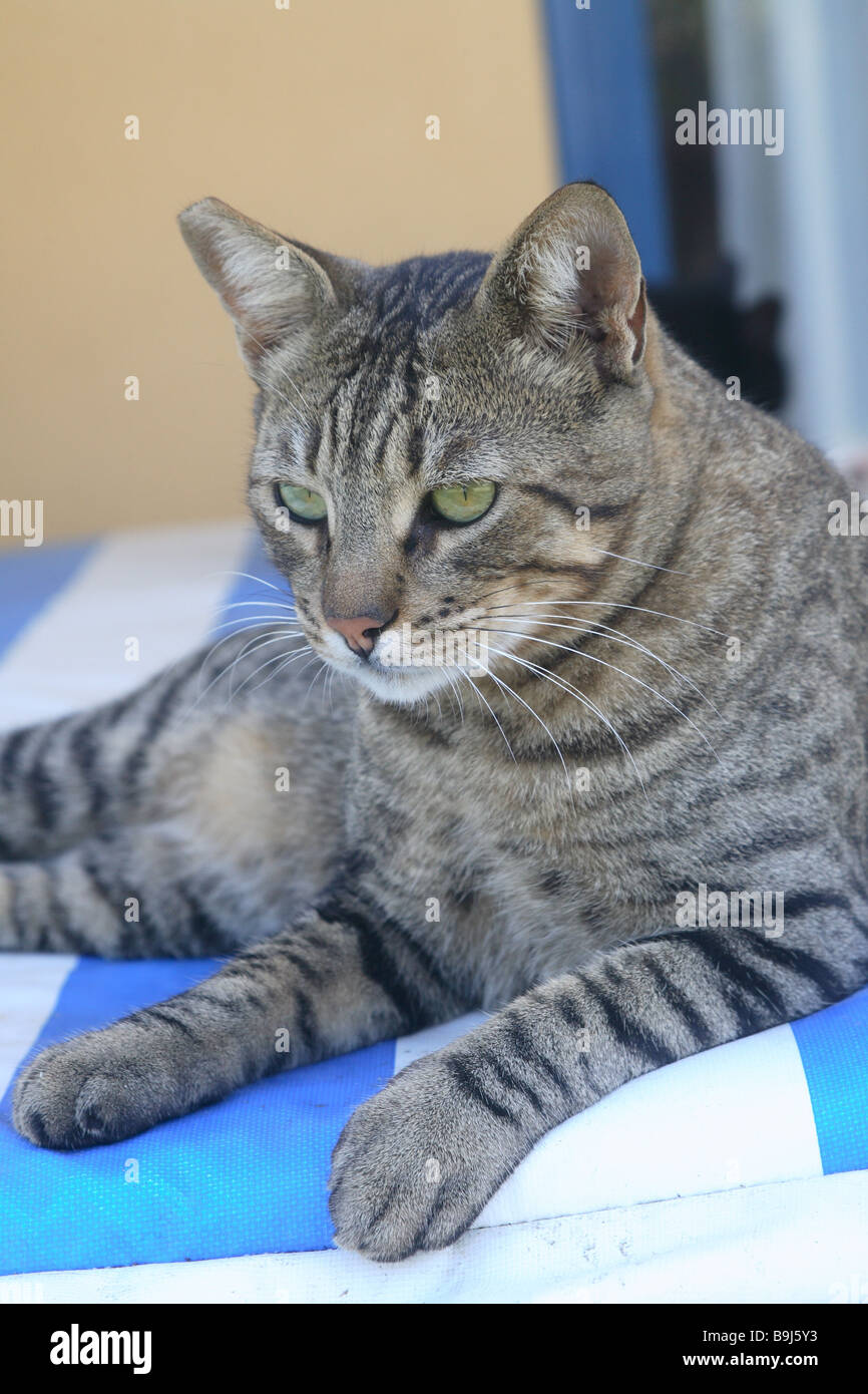 Cat striped deck chair lie animal pet house-cat free-living mammal free-liver day bed roved know-blue resting lazes - Stock Image