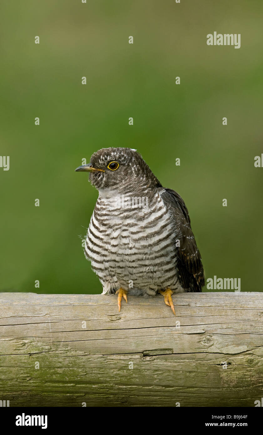 Eurasian Cuckoo, juvenile perched on a post - Stock Image