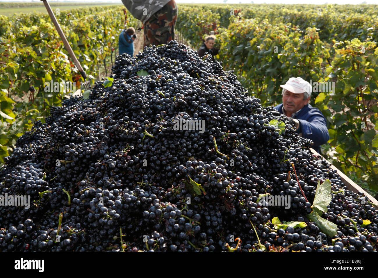 Grape harvest in Seewinkel, Blaufraenkisch grapes, Burgenland, Austria, Europe - Stock Image