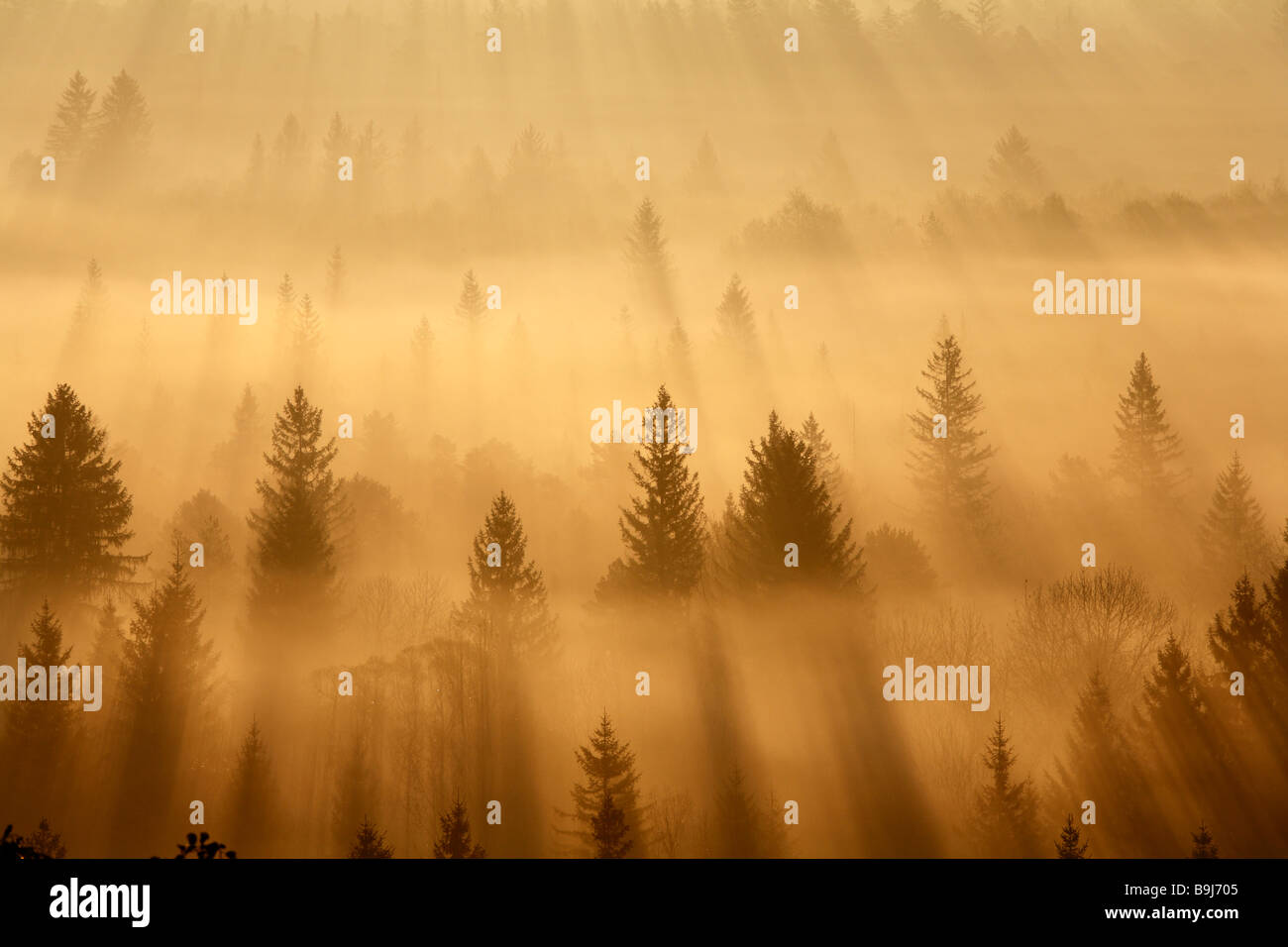 Conifer forest in morning fog, morning mood in the Pupplinger riparian forest near Wolfratshausen, Isar wetlands, - Stock Image