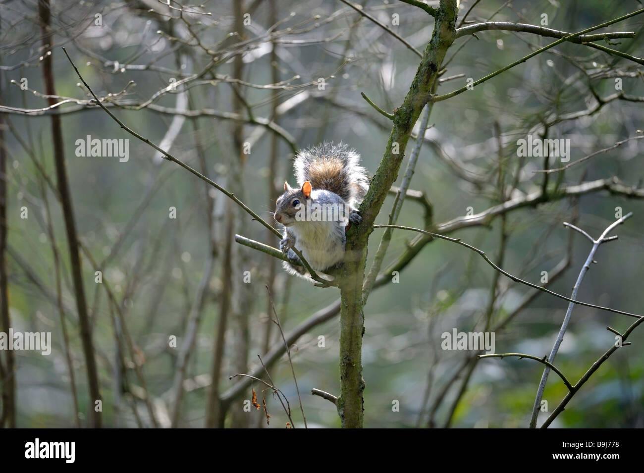 Grey Squirrel (Sciurus carolinensis) in the woods. - Stock Image