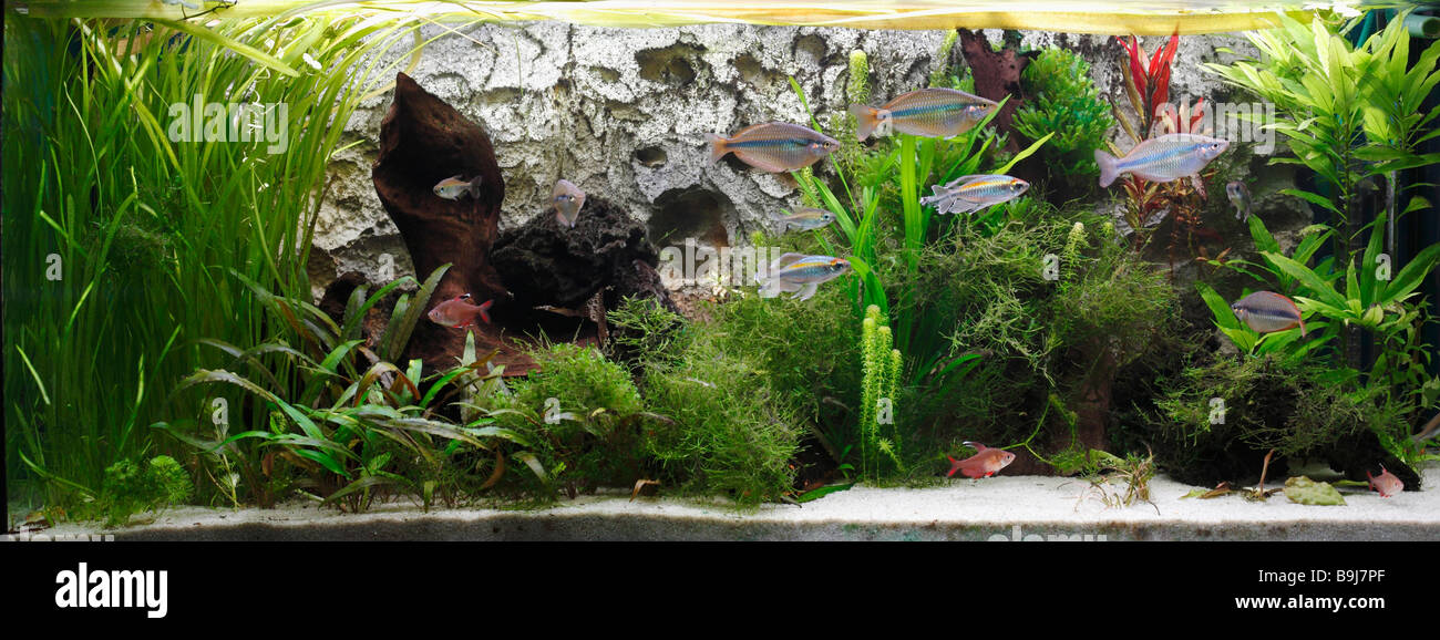 Tropical freshwater aquarium - Stock Image