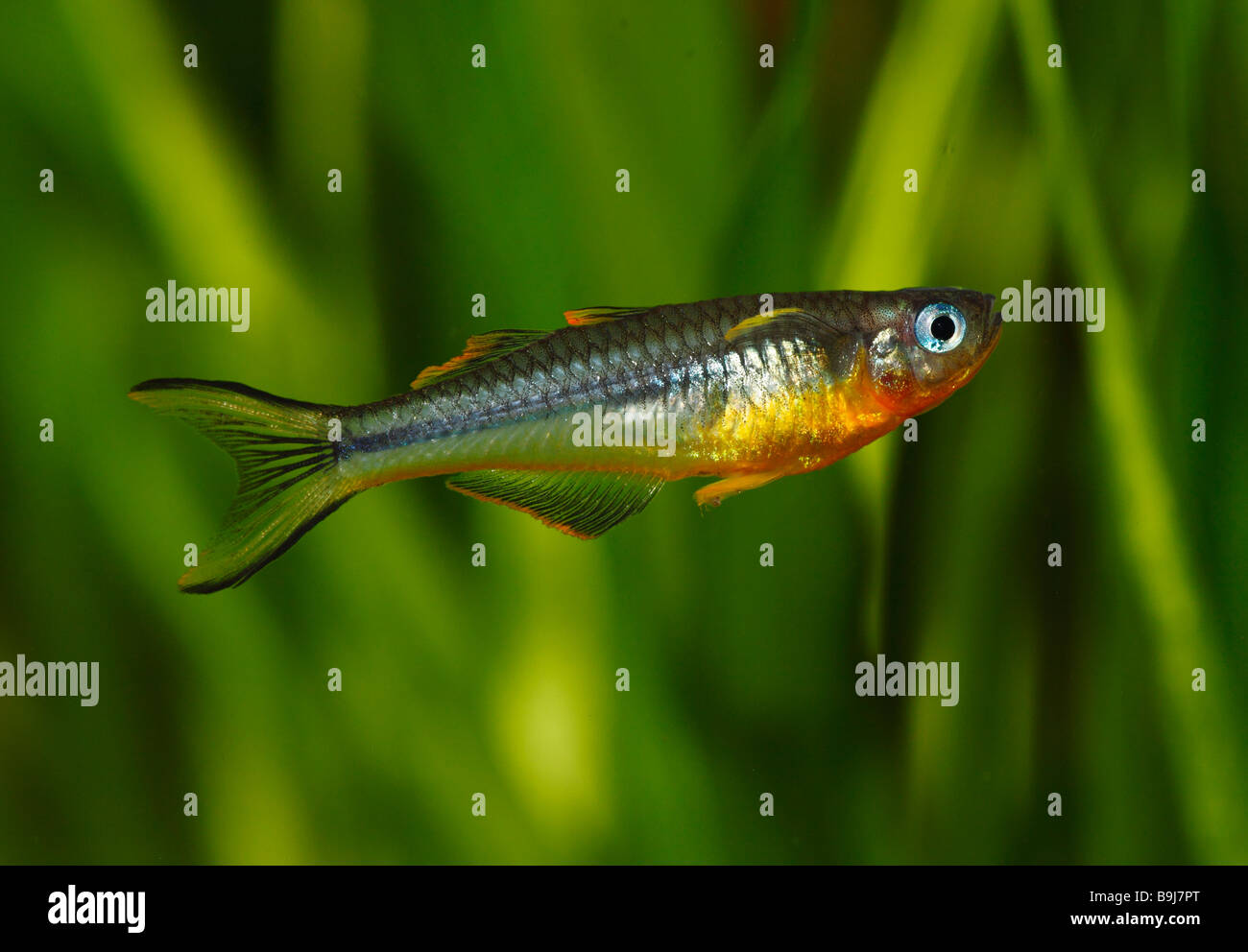 Forktail Blue-eye (Pseudomugil furcatus, Pseudomugil furcata) from New Guinea, male, warm water, freshwater aquarium - Stock Image
