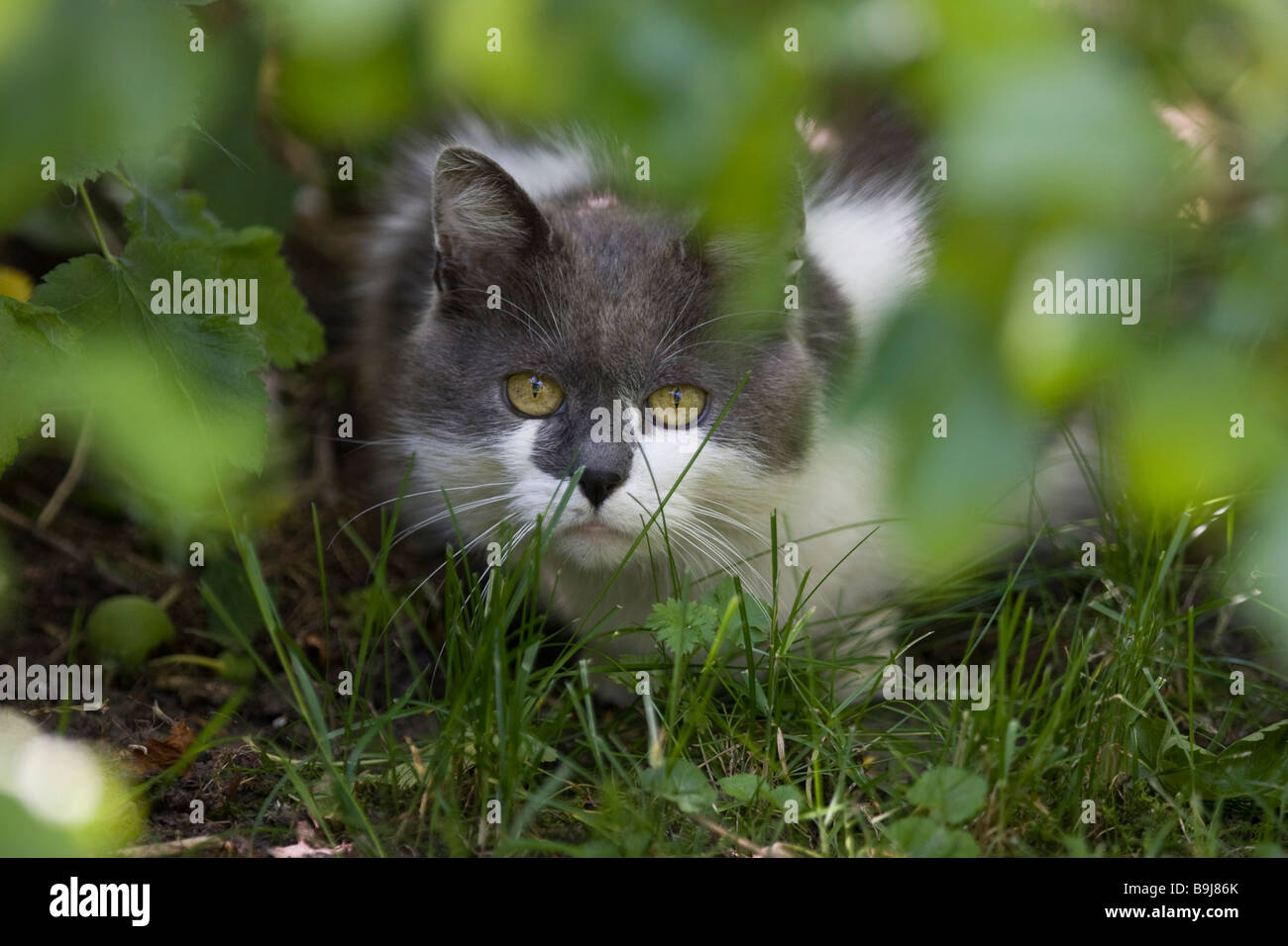 Grey and white domestic cat hiding behind green branches, ready to pounce - Stock Image