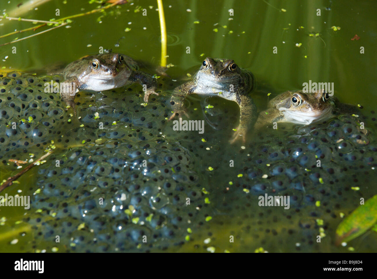 Frogs with their frogs spawn - Stock Image