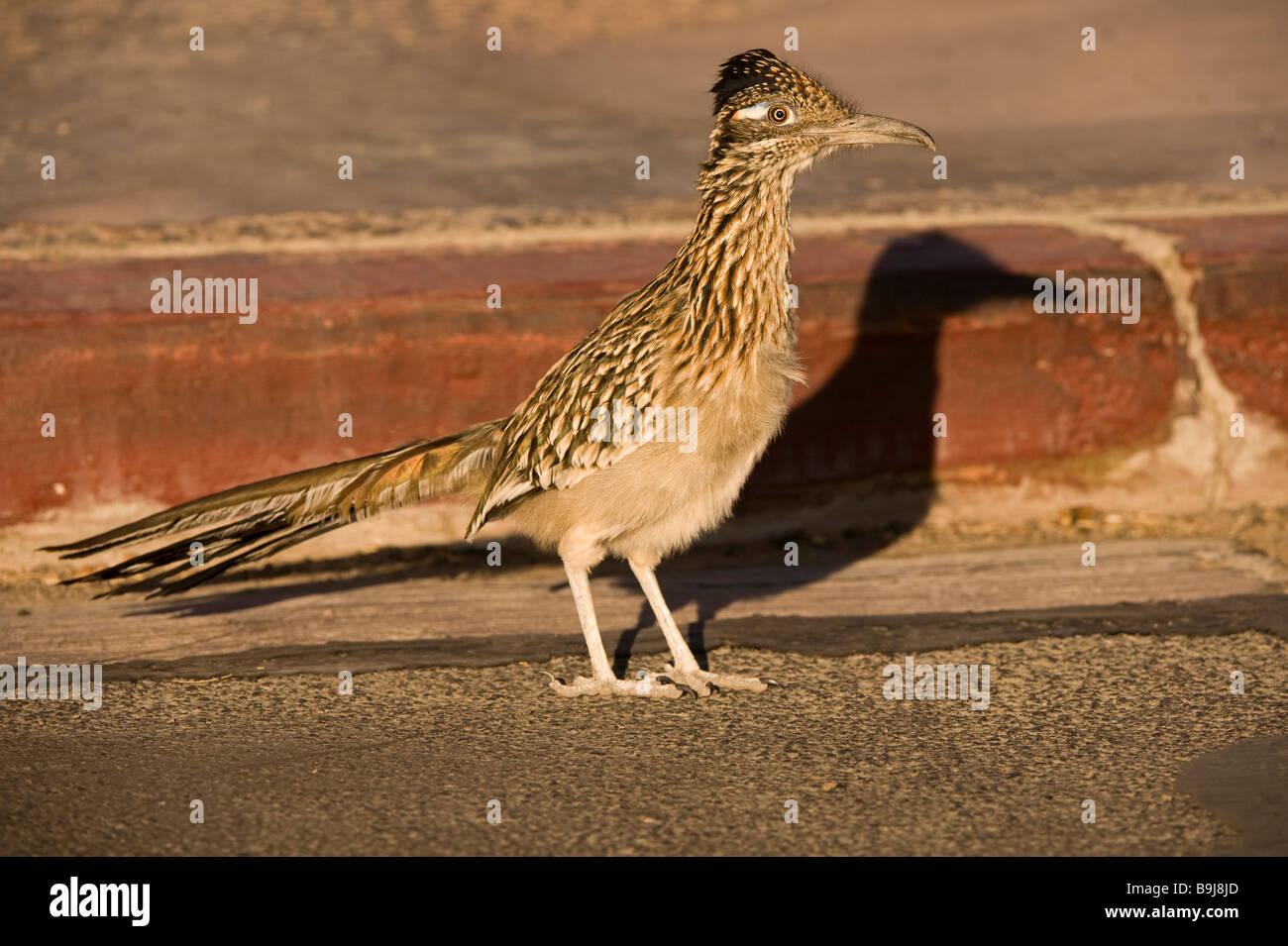 Greater Roadrunner (Geococcyx californianus), Death Valley, California, USA - Stock Image