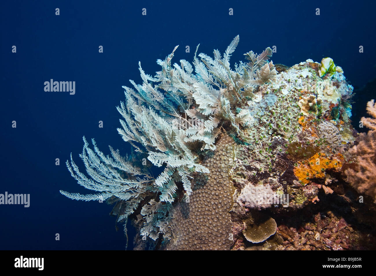 Dangerous marine animal, Stinging Hydroid (Aglaophenia cupressina), Indonesia, south-east Asia - Stock Image