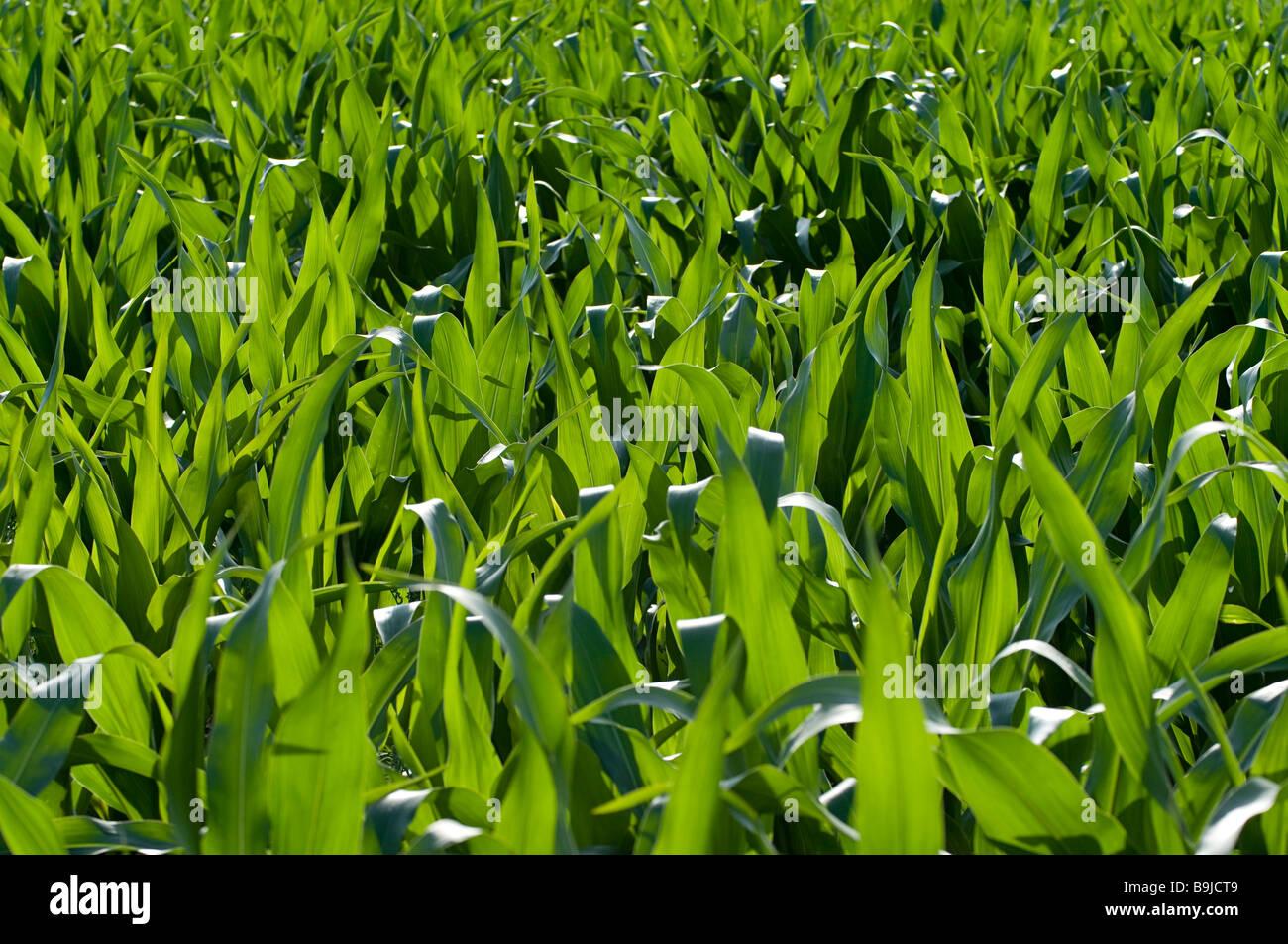 Cornfield (Zea mays) - Stock Image