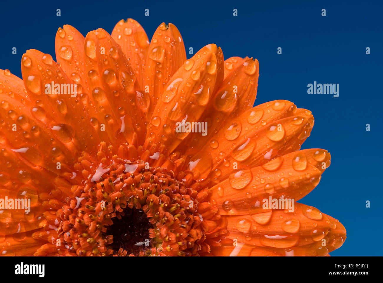 Gerbera gerbera blossom covered with water drops stock image