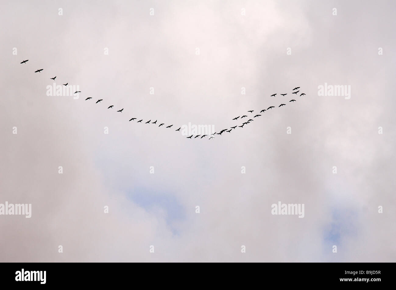 Ducks (Anas spec.) heading south Stock Photo