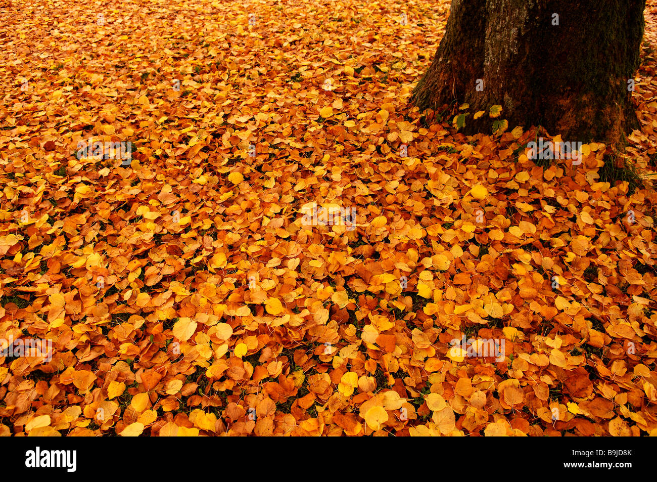 Fallen autumn leaves of a Large-leaved Linden or Large-leaved Lime (Tilia platyphyllo) Stock Photo