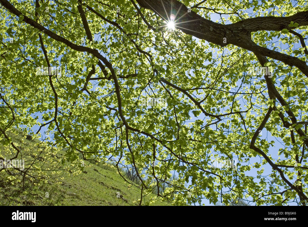 broad-leafed tree branches leaves detail back light nature plant ...