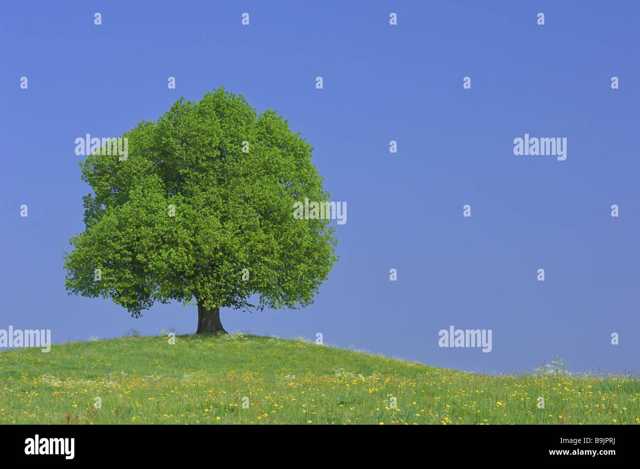 Meadow hills linden Stock Photo