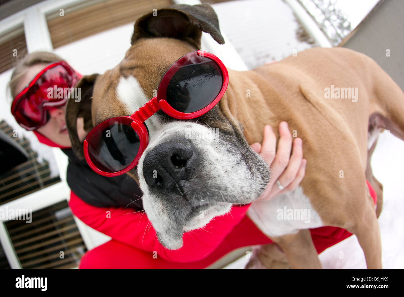 Close up of a young woman and a boxer dog wearing goggles in the snow. - Stock Image