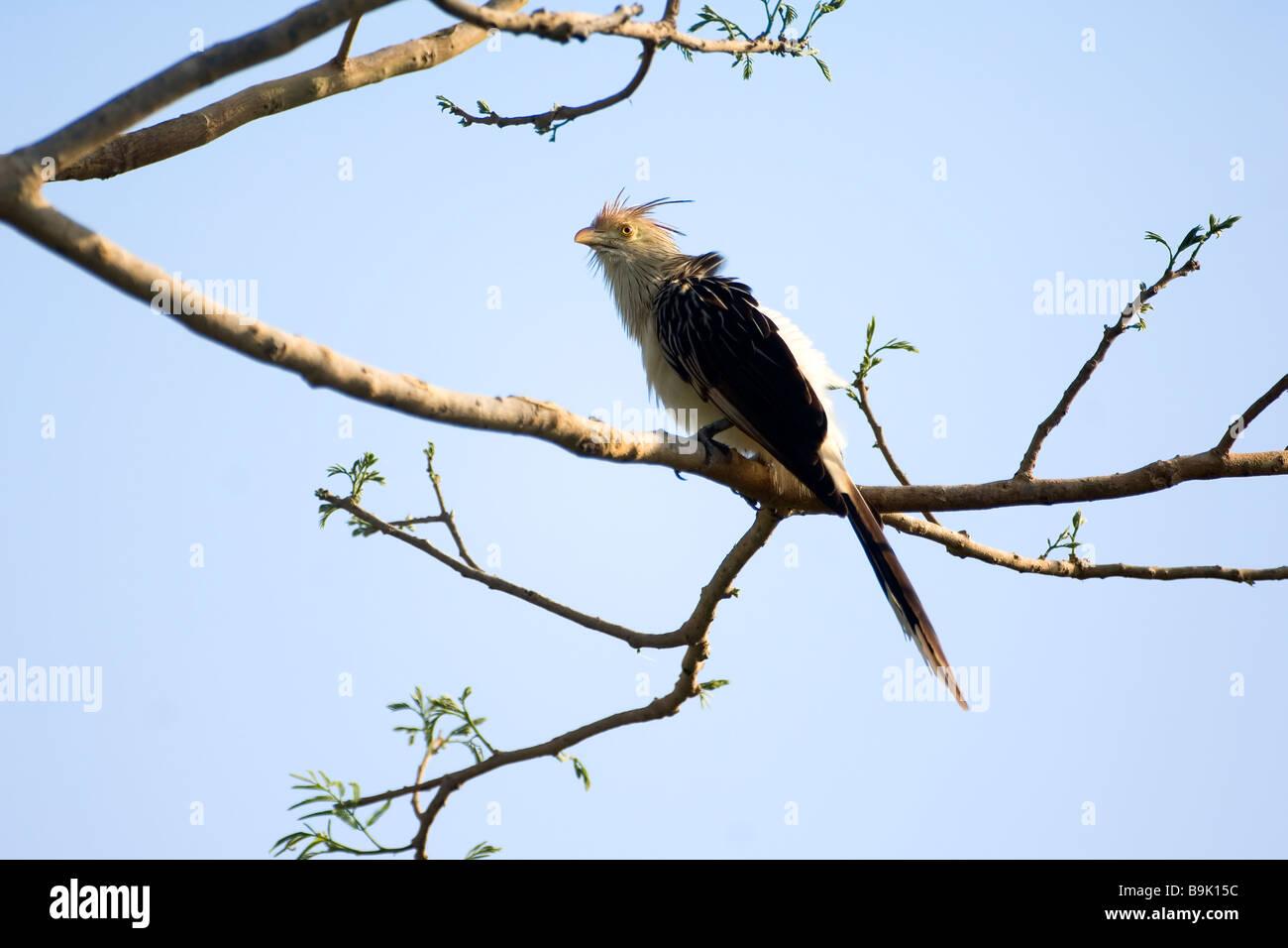 Guira Cuckoo  Guira guira Brazil - Stock Image